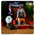 Ch. Diablos Queen Sophie Anne WB/BOW for her AKC Championship
